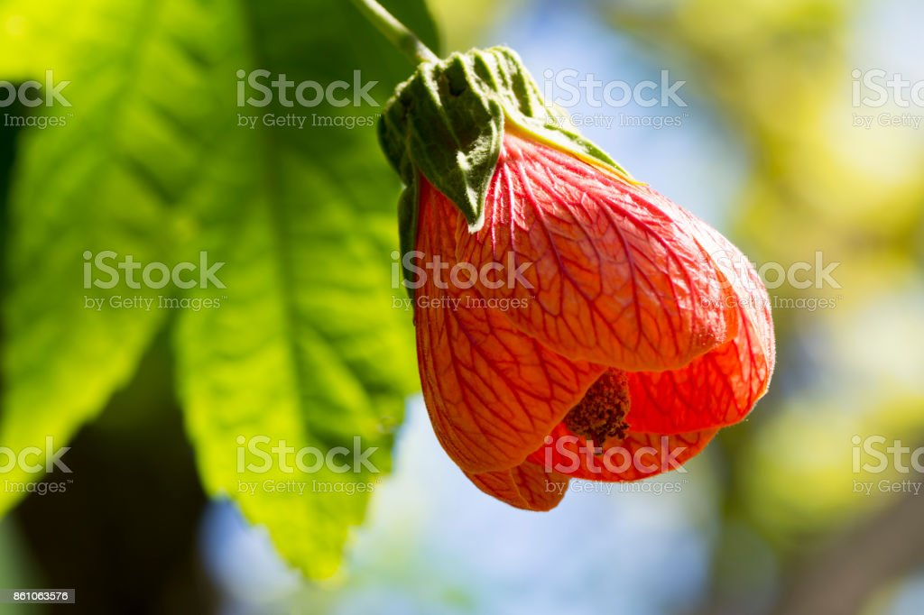 Abutilon Pictum aka Red Vein Indian Mallow, Chinese Lantern stock photo
