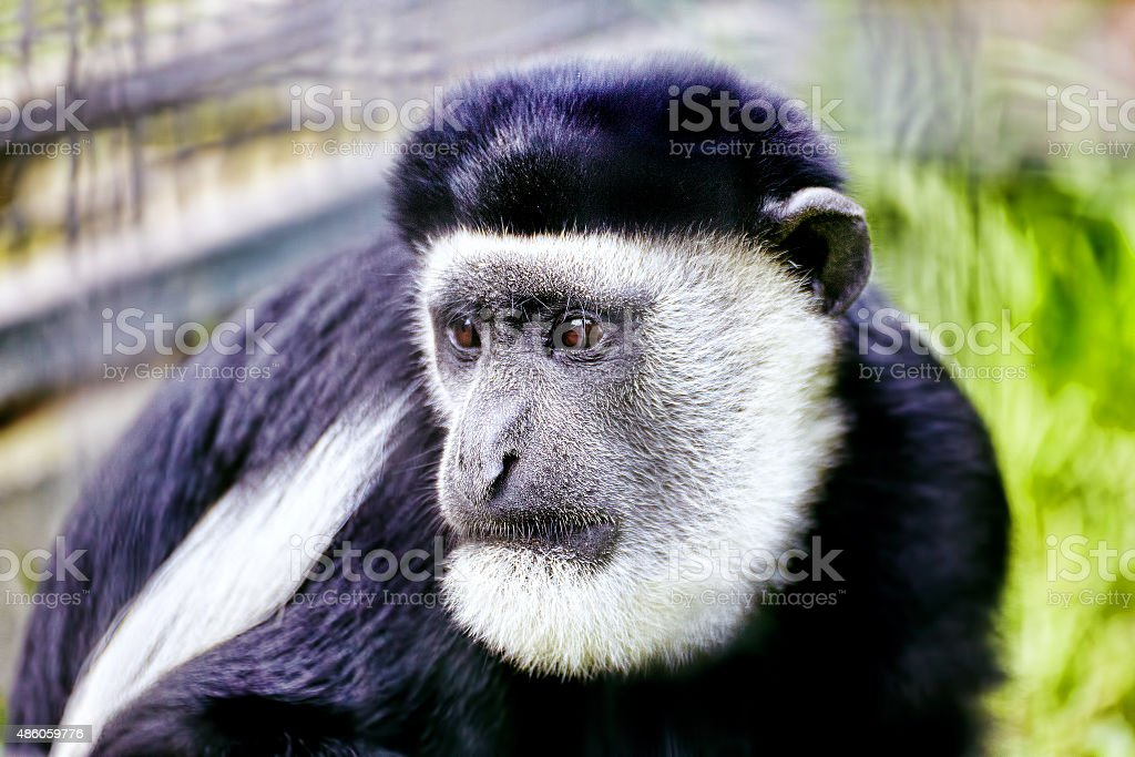 Abyssinian black and white colobus. stock photo