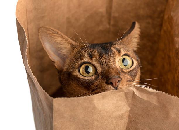 Abyssinian cat in bag picture id174798772?b=1&k=6&m=174798772&s=612x612&w=0&h=unrc65w44fautyskoagtgid3vom po bncbqgttrozc=