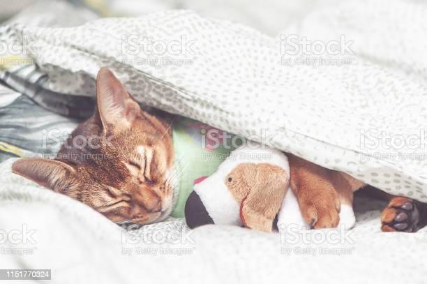 Abyssinian cat in bedclothes sick sleeping embracing a toy under a picture id1151770324?b=1&k=6&m=1151770324&s=612x612&h=povy5dhy7g9od8w 3ontkrsls dphfa4uipghublsbu=