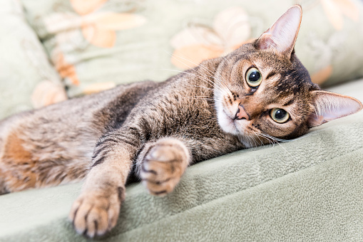 Abyssinian cat on green sofa