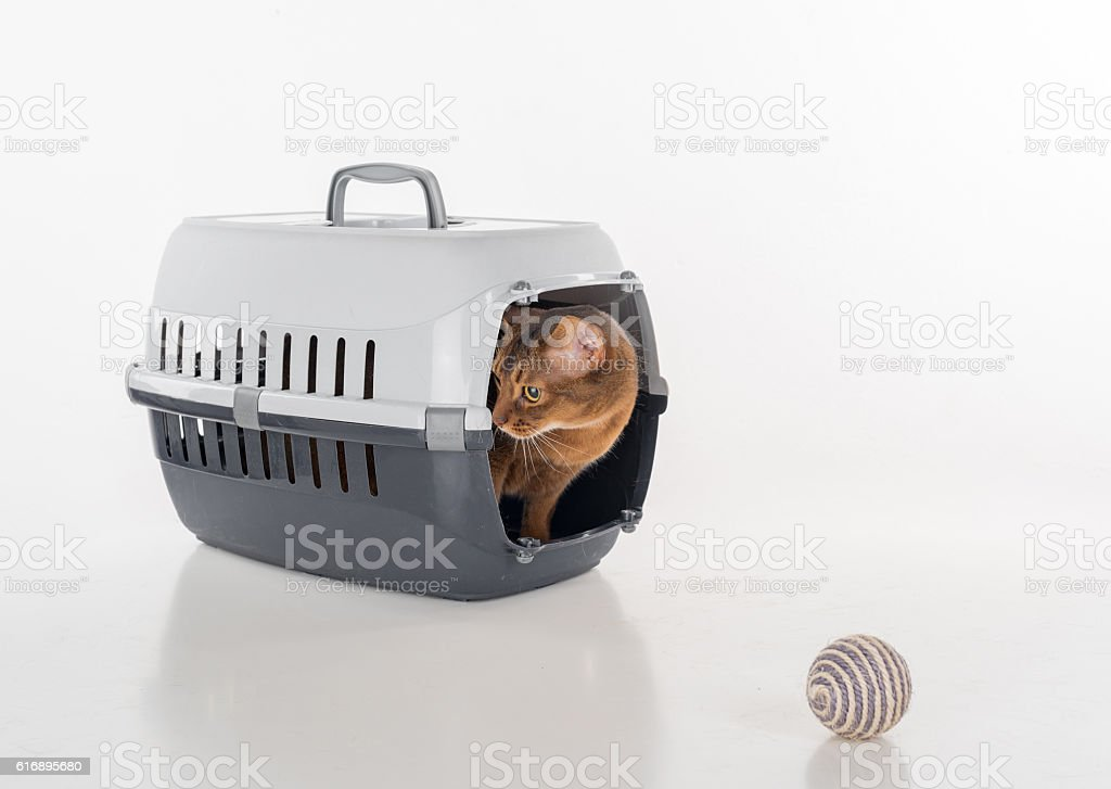 Curious Abyssinian Cat playing on the white Background. Stuio photo...