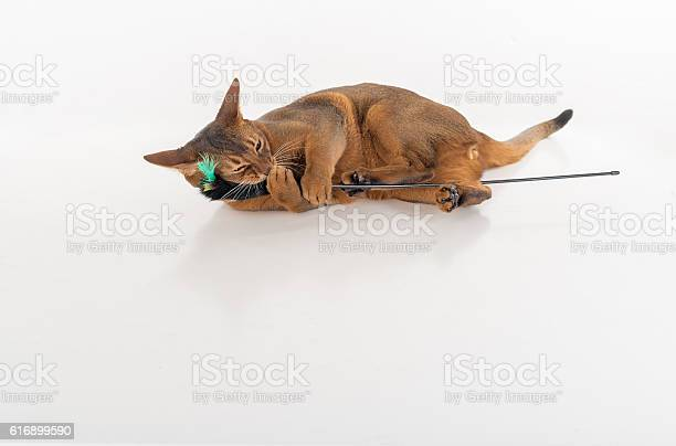 Abyssinian cat on white background picture id616899590?b=1&k=6&m=616899590&s=612x612&h=cuir2afvzzlyayagfnpxuikfldqrbze9jgssfky64ga=