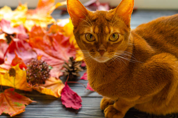 Abyssinian cat orange color sitting on the windowsill with autumn fallen yellow leaves. Autumn serenity, warm atmosphere and thanksgiving. Abyssinian cat orange color sitting on the windowsill with autumn fallen yellow leaves. Autumn serenity, warm atmosphere and thanksgiving. thanksgiving pets stock pictures, royalty-free photos & images