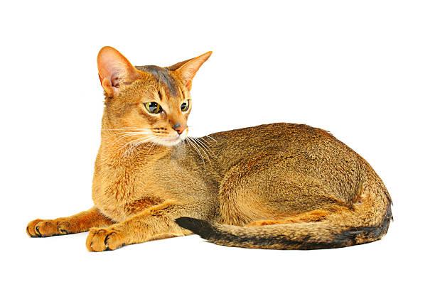 Abyssinian cat picture id134980940?b=1&k=6&m=134980940&s=612x612&w=0&h=ebn4hwsywnnxxikbkxu8hheln mjx9orql2nvod5d4m=