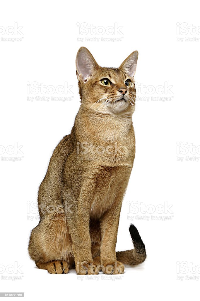 Abyssinian cat royalty-free stock photo
