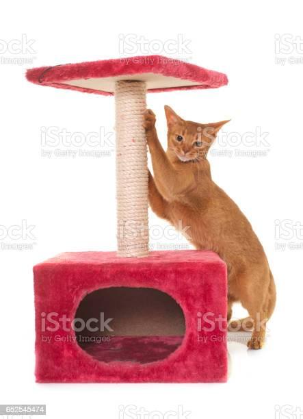 Abyssinian cat picture id652545474?b=1&k=6&m=652545474&s=612x612&h=bz8idqmbxfbw5vxi luqqnnfsqngqddnthbphqnayc0=