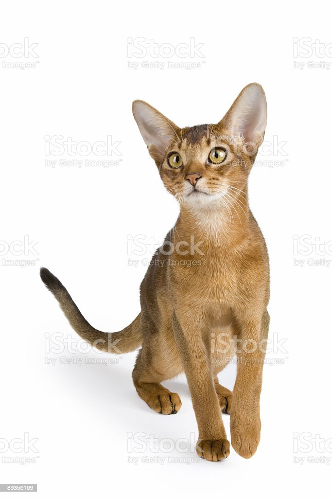 Kot abisyński zbiór zdjęć royalty-free