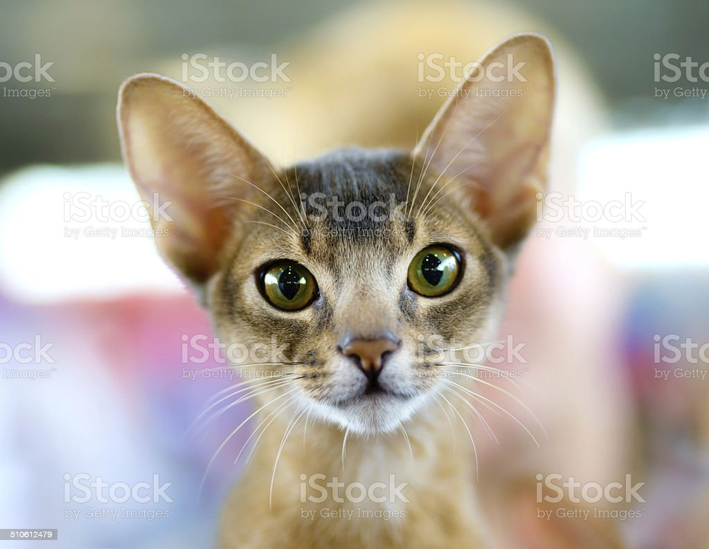 Abyssinian cat portrait royalty-free stock photo