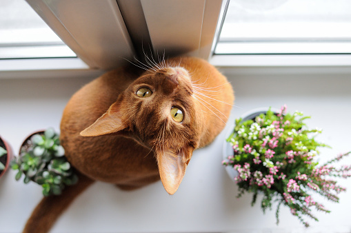 Abyssinian cat sitting on the windowsill with heather and succul