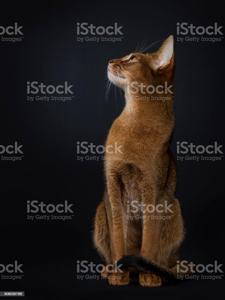 Abyssinian kat zit rechtstreeks geconfronteerd met kant en opzoeken van geïsoleerde op zwarte achtergrond foto
