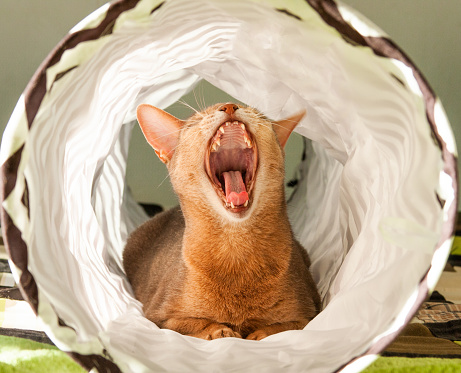 Abyssinian cat yawns. Close up portrait of blue abyssinian female cat, sitting on white background.