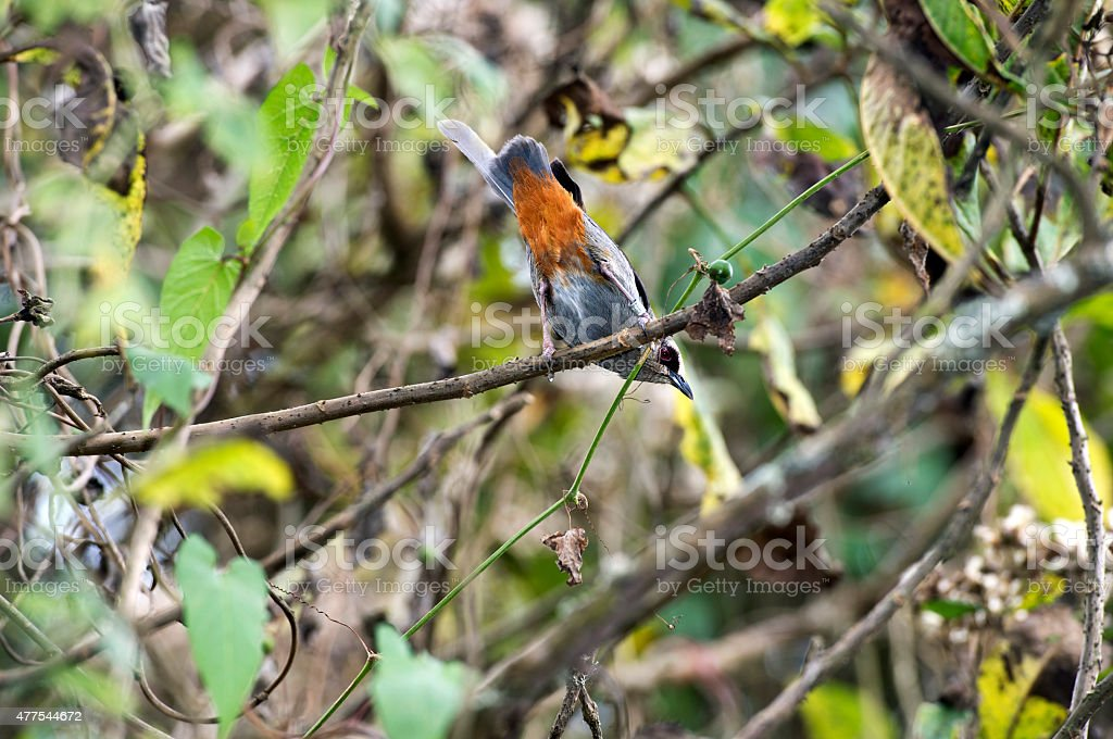 Abyssinian catbird stock photo