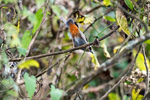 Rosetten catbird – Foto