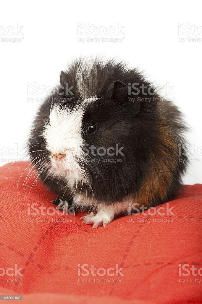 Abyssinian guinea pig, Cavia porcellus royalty-free stock photo