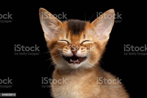 Abyssinian kitty on isolated black background picture id648509510?b=1&k=6&m=648509510&s=612x612&h=cp ekflf3q qlz2yzky8brs6j18p5ycqprbrkz2u1su=