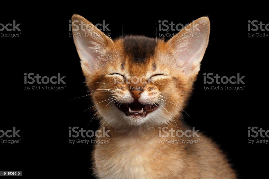 Abissínio Kitty em fundo preto isolado - foto de acervo