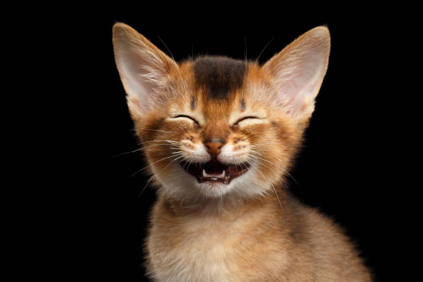 Abyssinian Kitty on Isolated Black Background stock photo