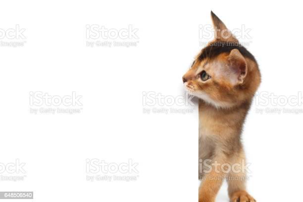 Abyssinian kitty on isolated white background picture id648506540?b=1&k=6&m=648506540&s=612x612&h=rky bjliwiheoahki1iwcxra4iiqcrxchn9rba3vam4=