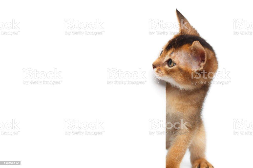 Abyssinian gatinho no fundo branco isolado - foto de acervo