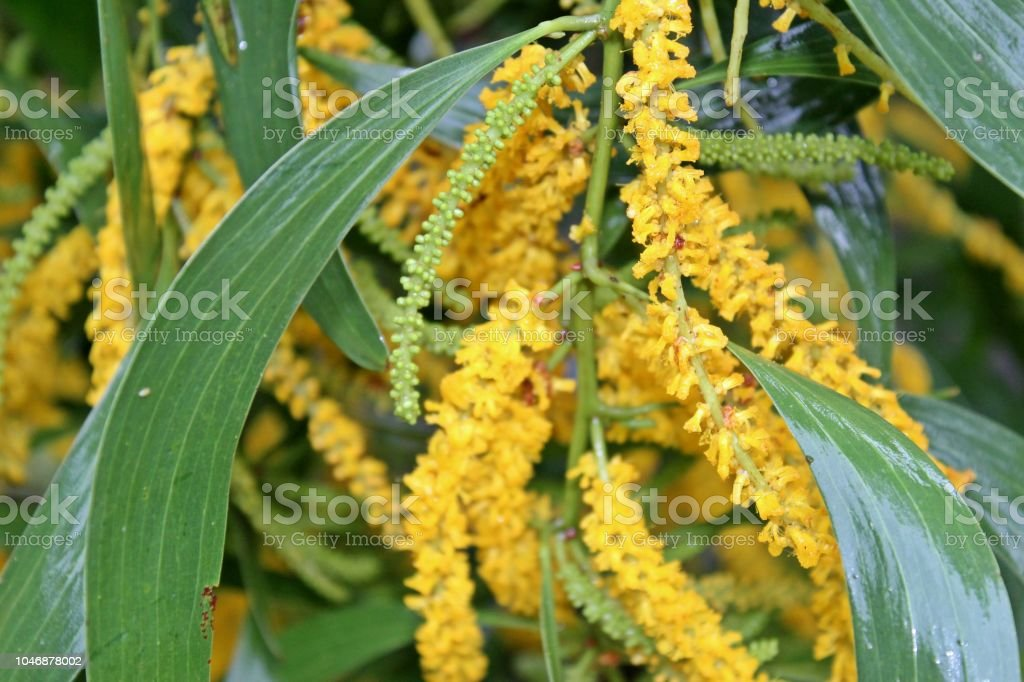 Acacia Auriculiformisacacia Facsiculiferaacacia Longifolia Colorful Yellow Small Blossom Together Into A Bouquet Of Flowersenhance Beauty With Green Leaf Stock Photo Download Image Now Istock