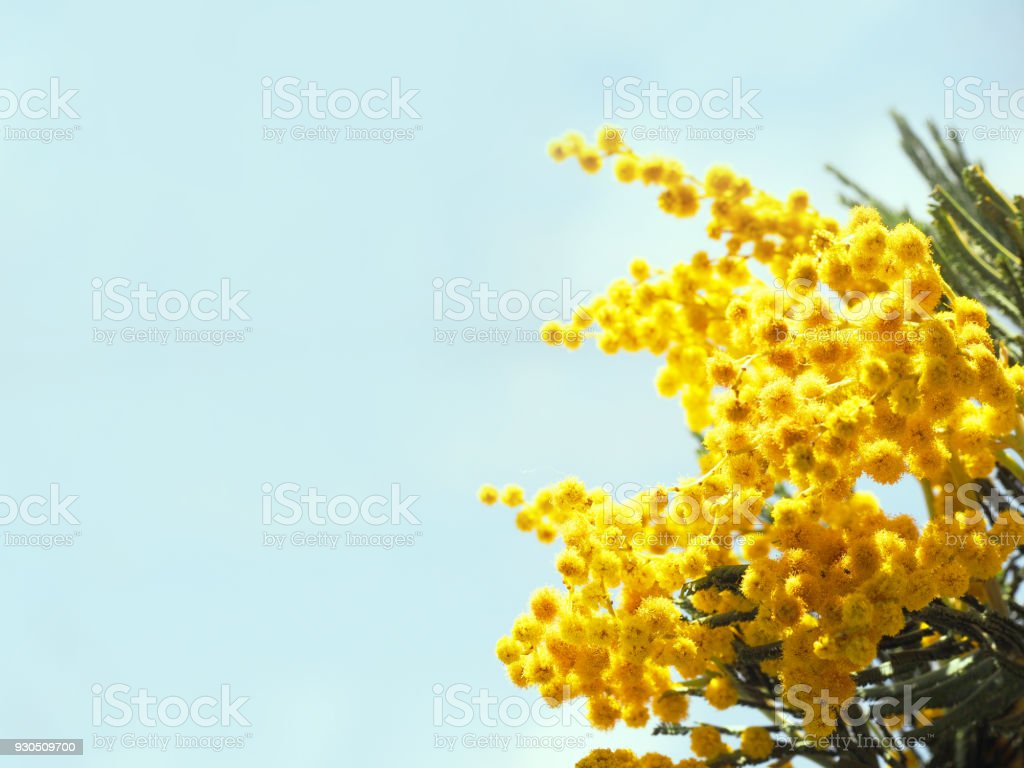 Acacia Dealbata Closeup On The Blue Sky Background Spring Yellow