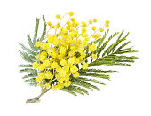 Branch of an acacia dealbata with yellow fluffy flowers and green leaves, isolated on a white background