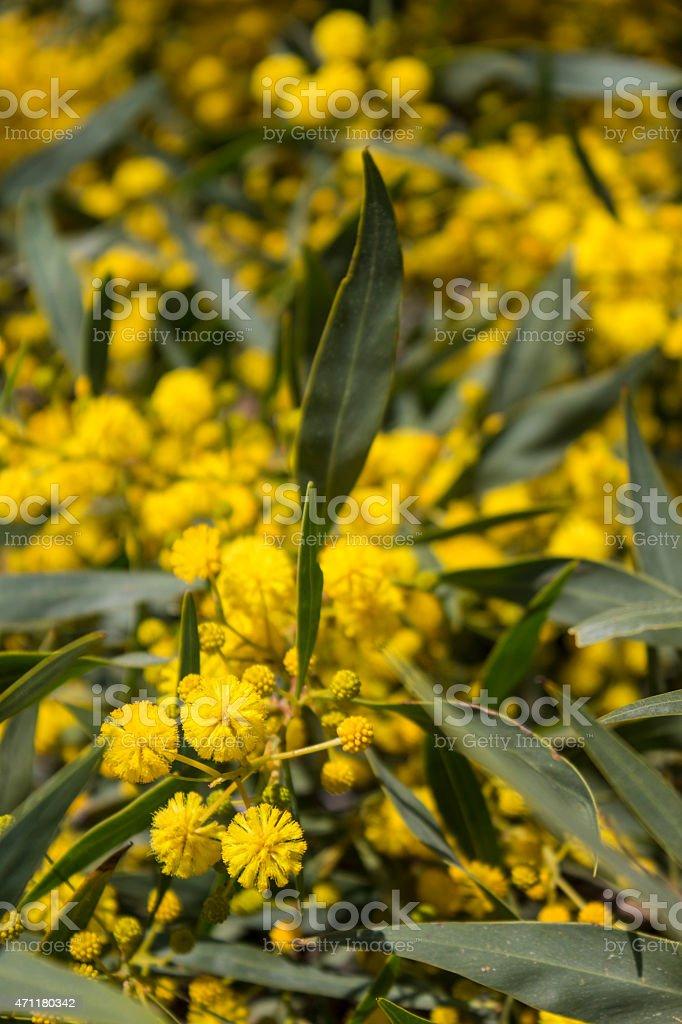Acacia dealbata stock photo