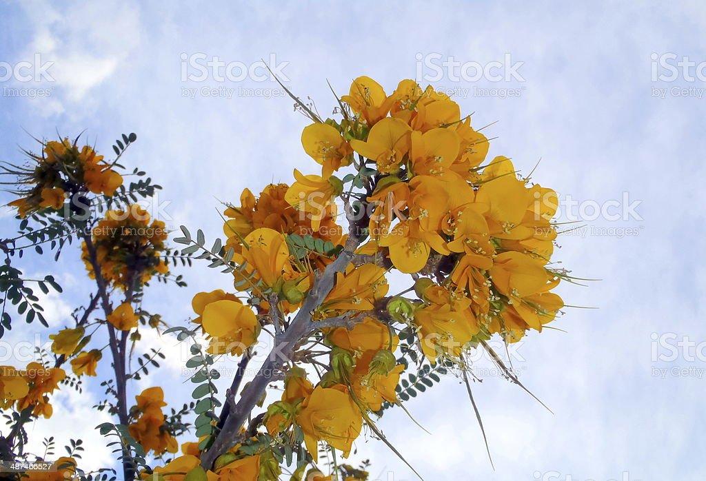 Fiori Gialli Immagini.Acacia Fiori Gialli Stock Photo Download Image Now Istock