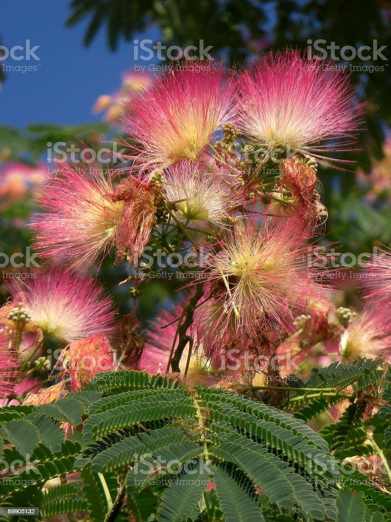 Acacia Flowering royalty-free stock photo