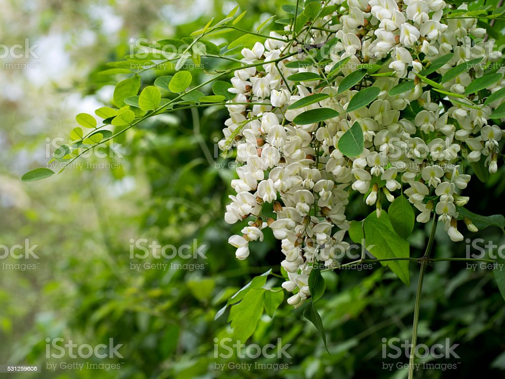 Acacia flowers, beautiful white perfumed racemes. stock photo