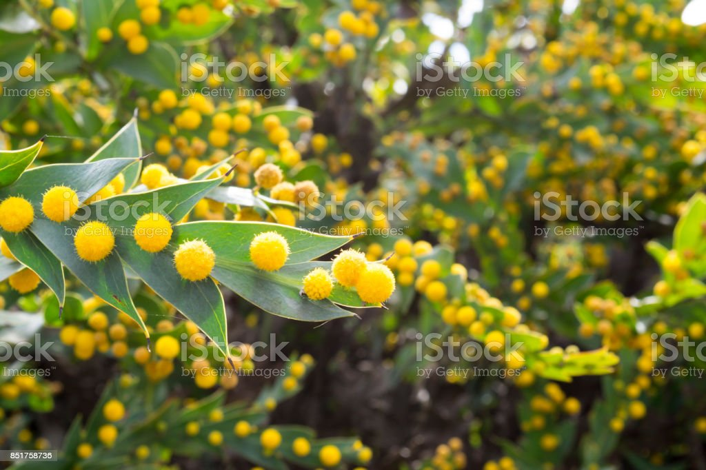 Acacia Glaucoptera (Flat Wattle) stock photo