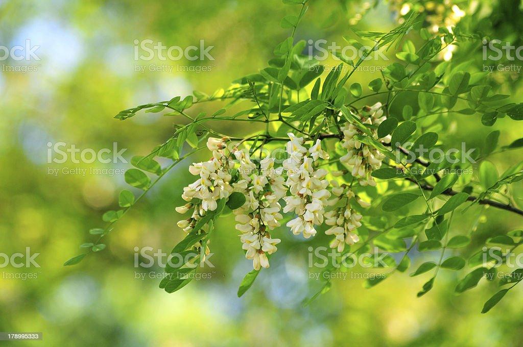 Acacia in spring royalty-free stock photo