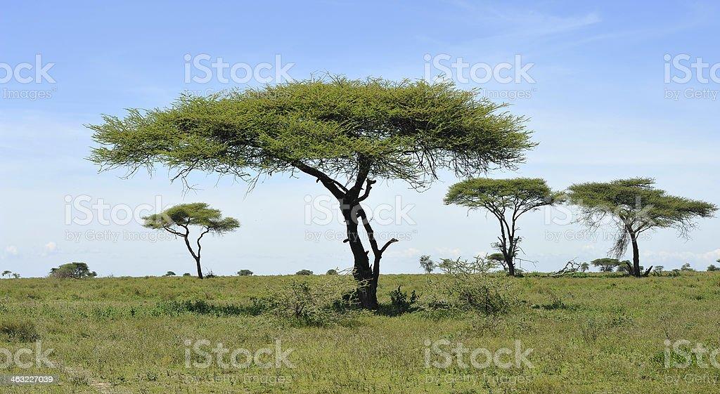 Acacia in the Serengeti National Park stock photo