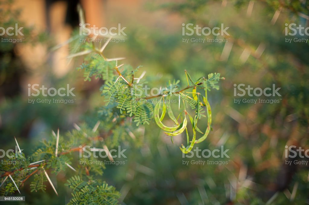 Acacia Karroo Sweet Thorn Tree Seeds And Leaves Stock Photo More
