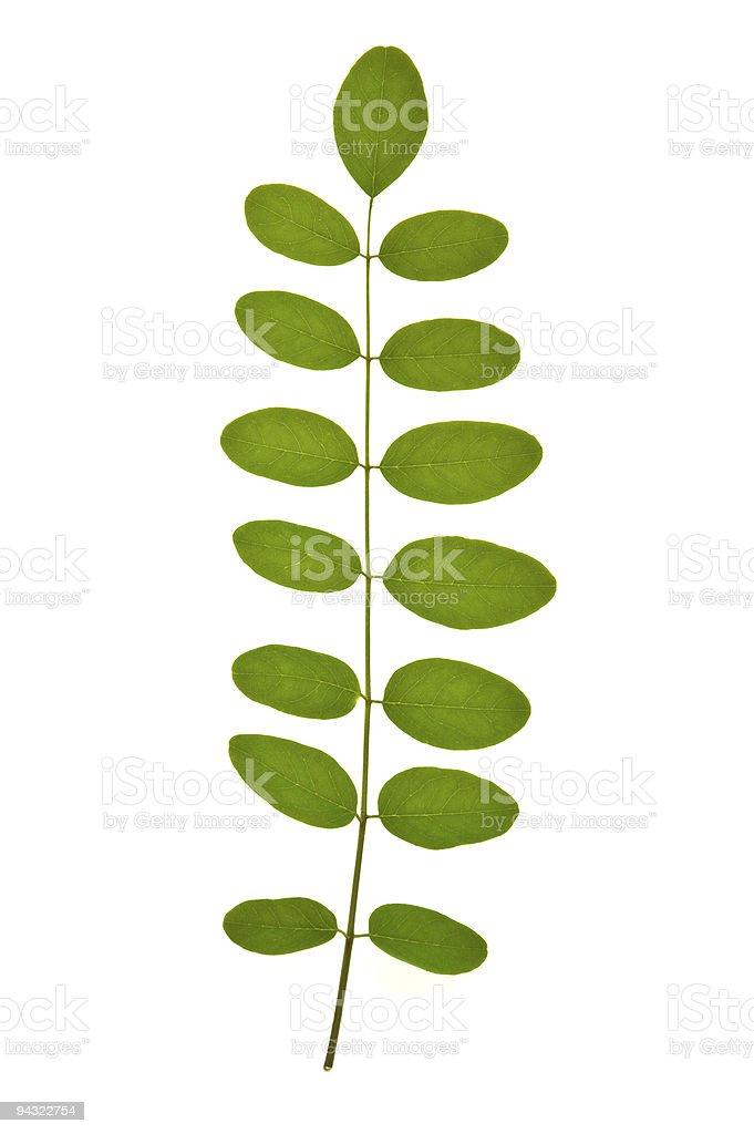Acacia leaf stock photo