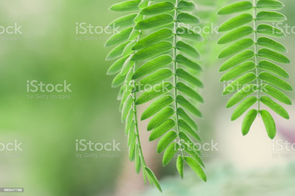 Acacia Leaves At Blurred Background Stock Photo More Pictures Of