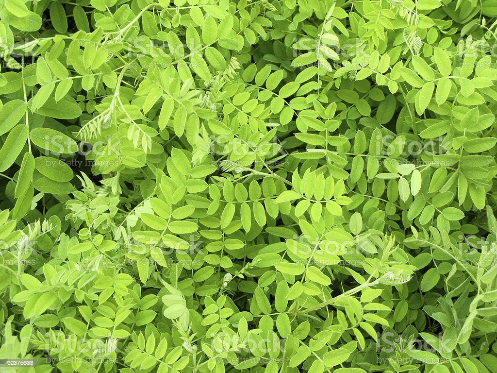 Acacia leaves royalty-free stock photo