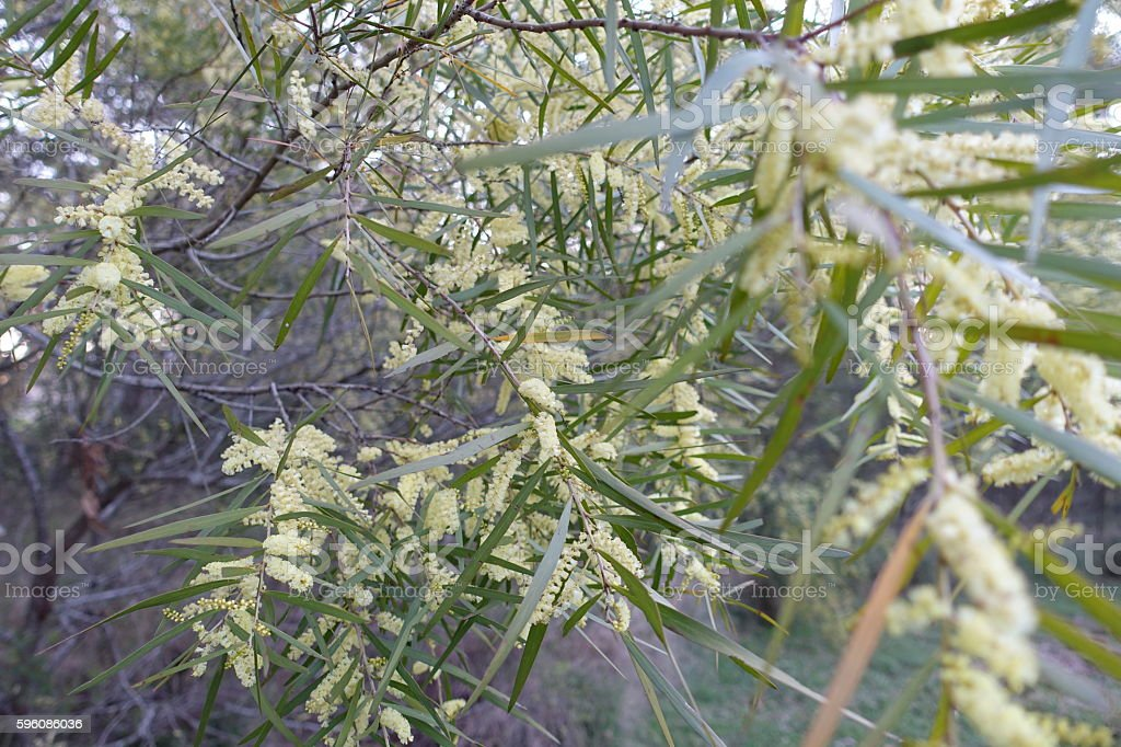 Acacia longifolia, wattle flowing in spring royalty-free stock photo