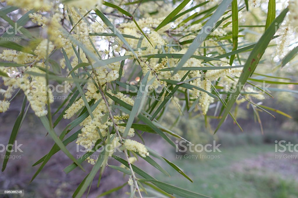 Acacia longifolia, wattle flowing in spring royalty-free stock photo