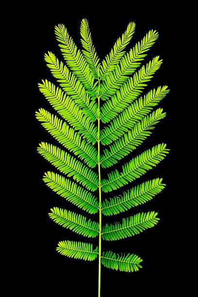 Acacia Pennata leaf texture isolated on black stock photo