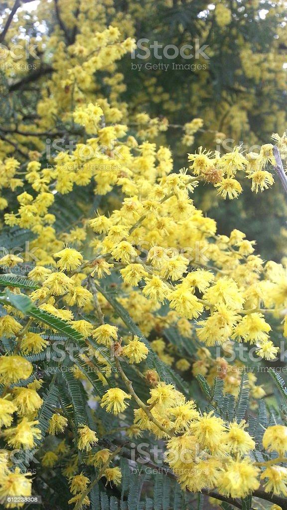 Acacia Pycnantha Beautiful Golden Wattle Flower In Melbourne