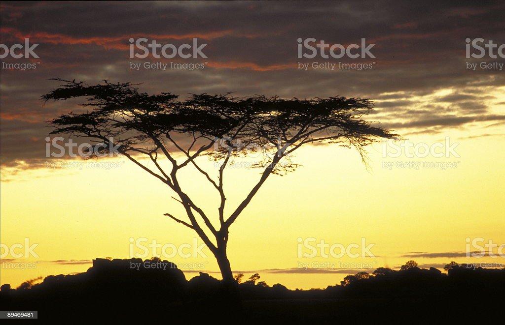 Acacia Sunrise royalty-free stock photo