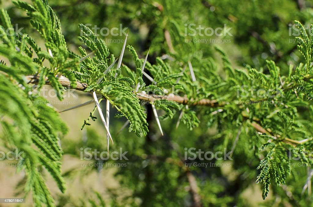 Acacia thorns royalty-free stock photo