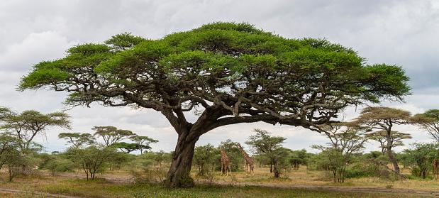 Acacia tree and giraffes in Tanzania, lake Masek.