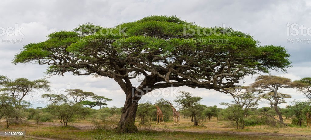Acacia tree and giraffes, landscape in Africa stock photo