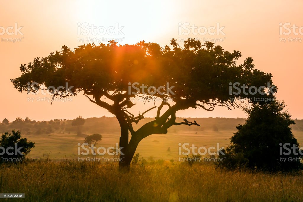 Acacia tree at Dramatic Sunrise stock photo