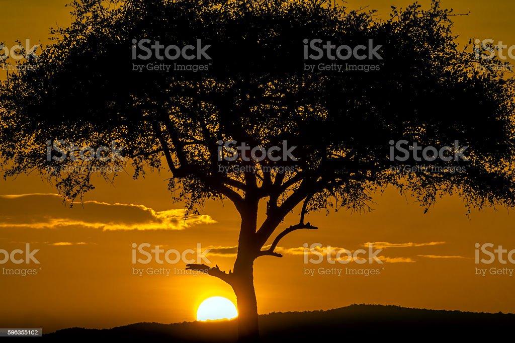 Acacia tree at sunrise royalty-free stock photo