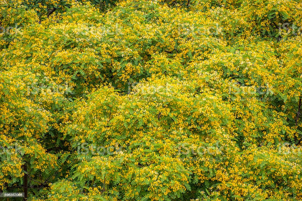 Acacia tree background royalty-free stock photo