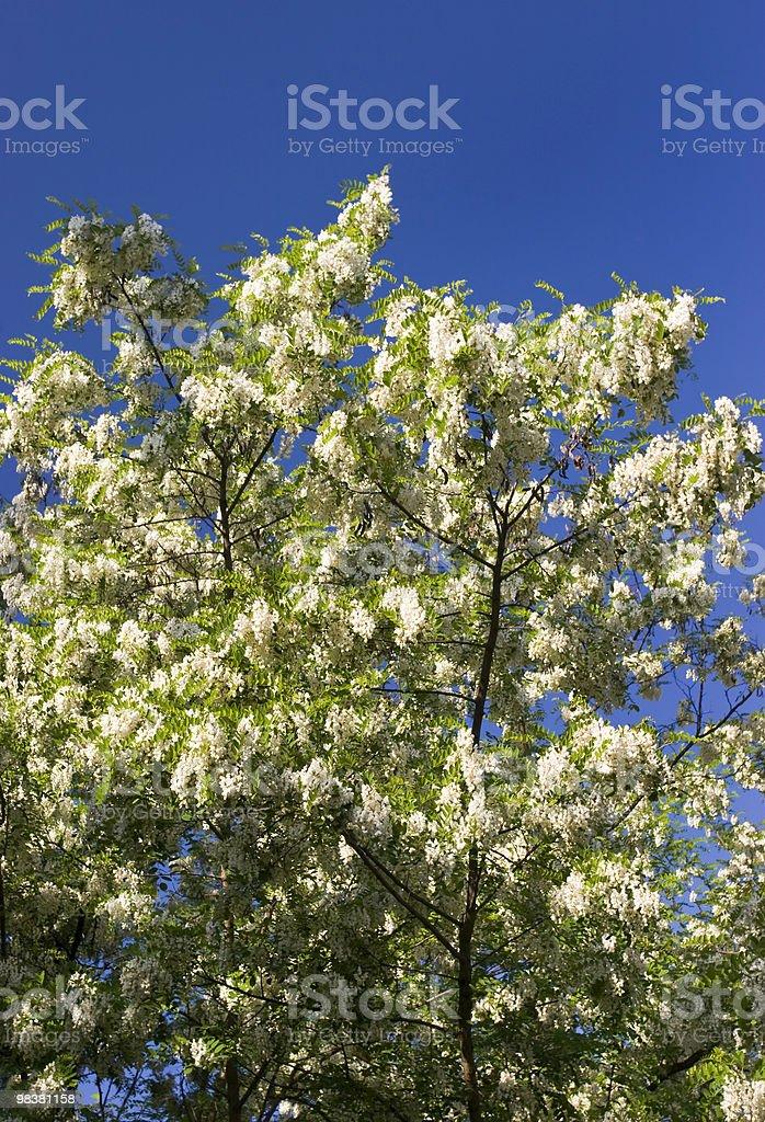 Acacia Tree Blossom royalty-free stock photo